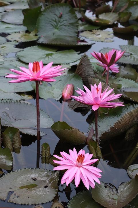 Lotus, Flowers, Plants, Leaf, Indonesian, West Java