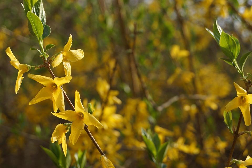 Forsythia, Flowers, Spring, Yellow, Plants, Landscape