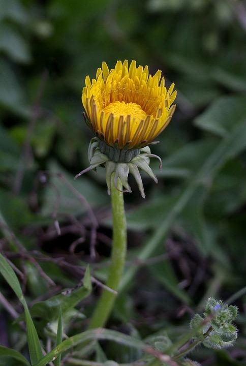 Dandelion, Yellow, Flower, Plants, Garden, Nature