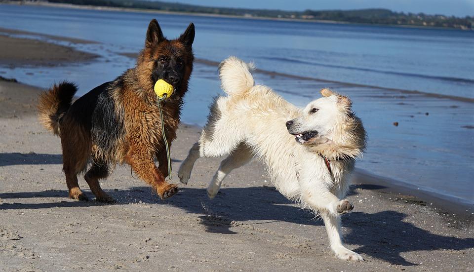 Dog, Schäfer Dog, Golden Retriever, Beach, Play, Sand
