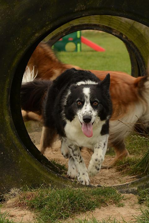 Collie, Dog, Run, Play, Chase, Obstacles, Animal