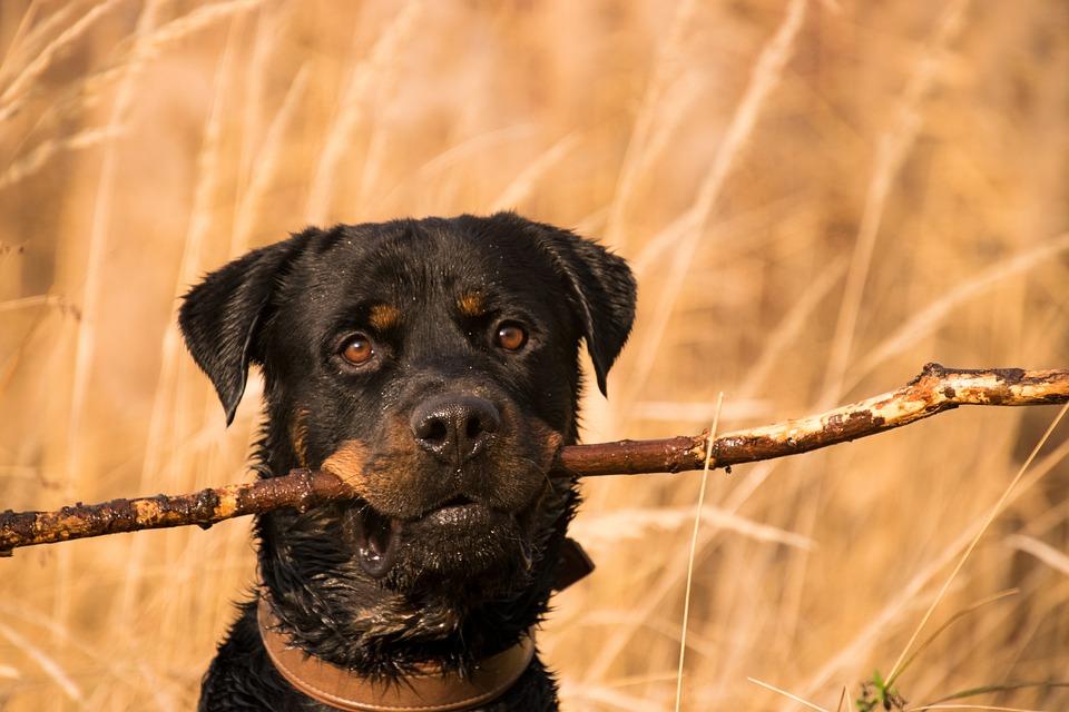Animal, Mammal, Dog, Grass, Cute, Rottweiler, Play