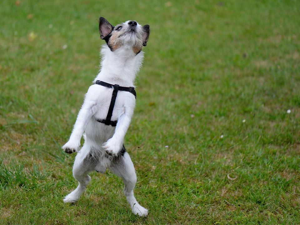 Dog, Funny, Hybrid, Play, Jump, Pet