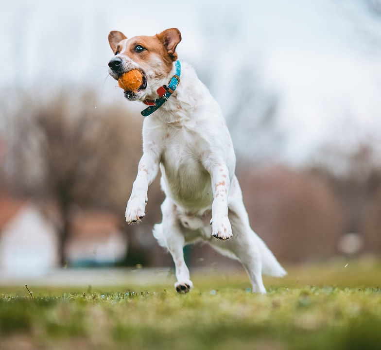Dog, Pet, Fetch, Ball, Jump, Play, Australian Kelpie