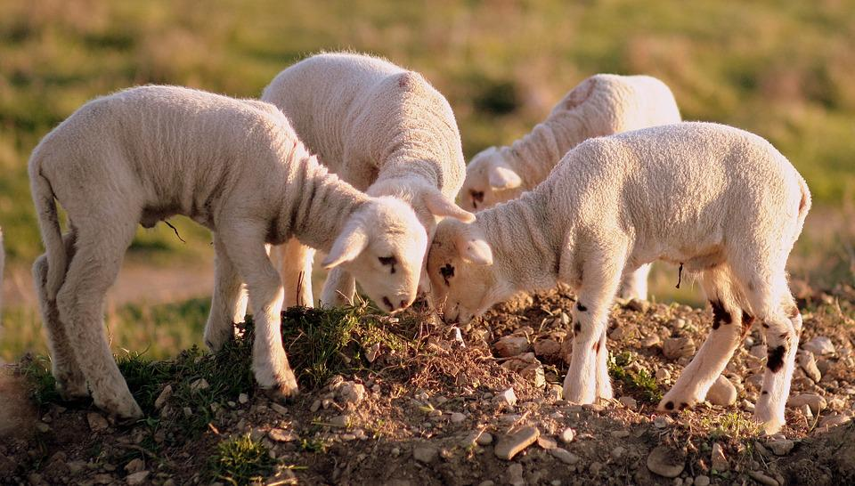 Lamb, The Flock, Play, Pet