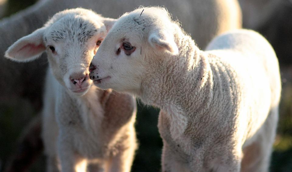 Lamb, The Flock, Two, Pair, Play, Pet