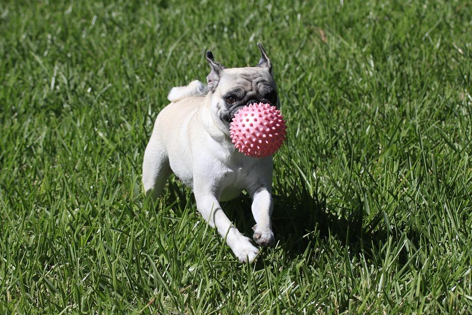 Dog, Pug, Playing, Puppy, Cute, Purebred, Breed
