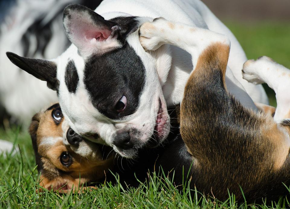 Puppies, Bulldog, Beagle, Playing Dogs, Puppy Games