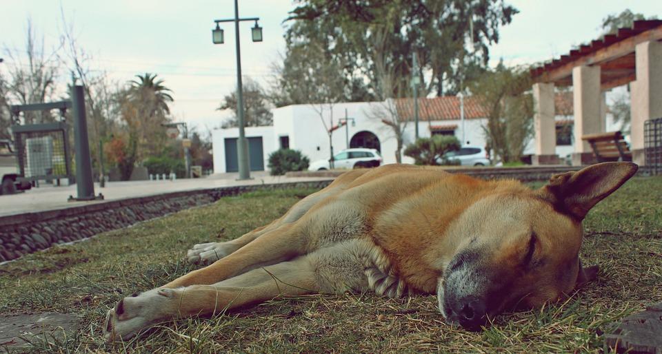 Dog, Siesta, Sleep, Animals, Rest, Naps, Plaza
