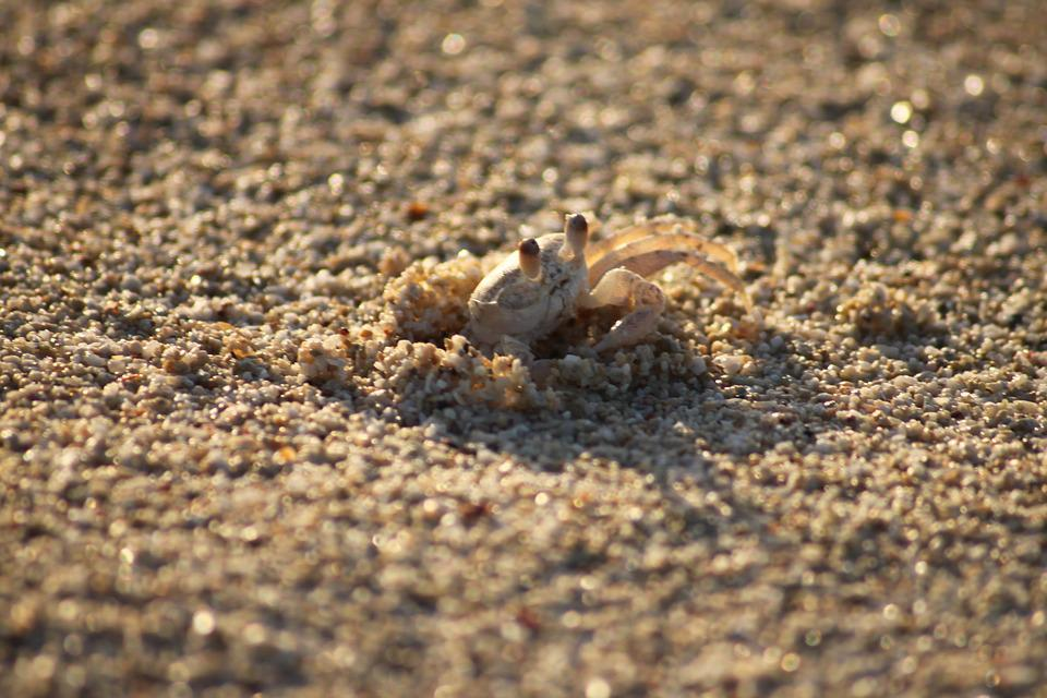Cancer, Beach, Crab, Shellfish, Nature, Pliers, Sand