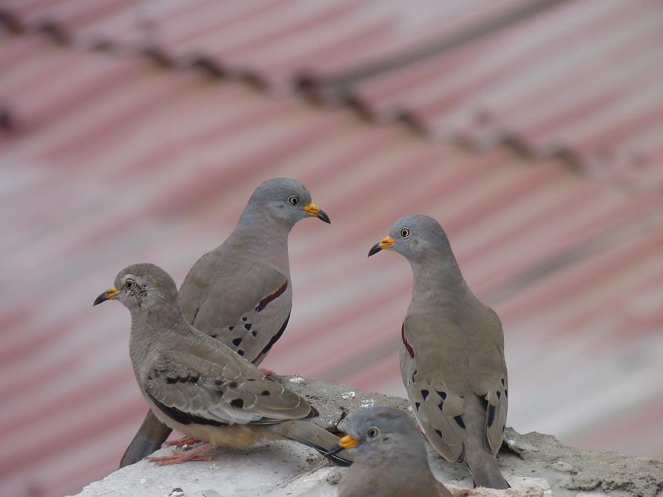 Birds, Pigeons, Plomas, Urban