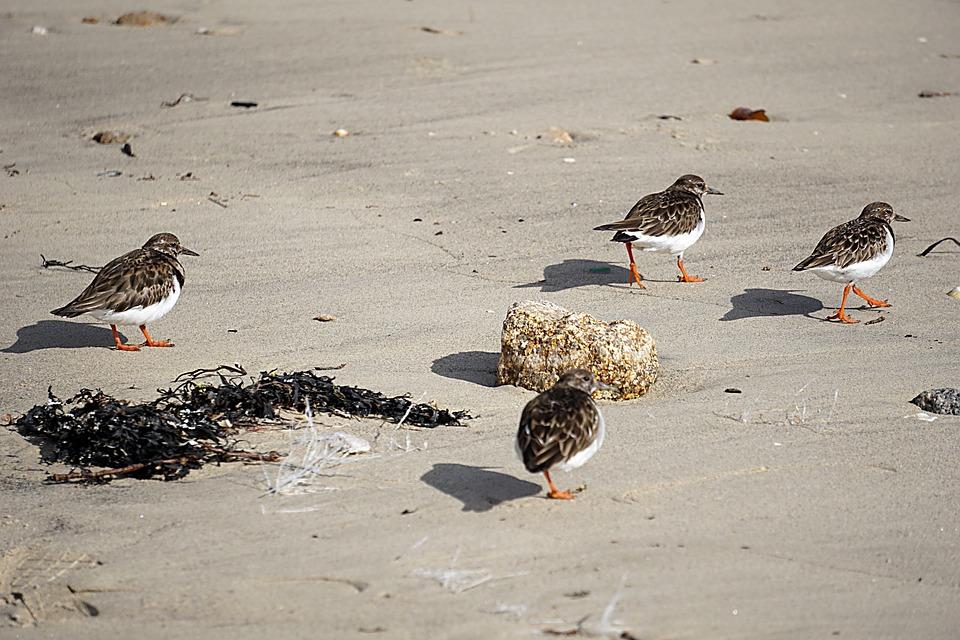 Birds, Plovers, Wild, Nature, Animal, Animals, Sea