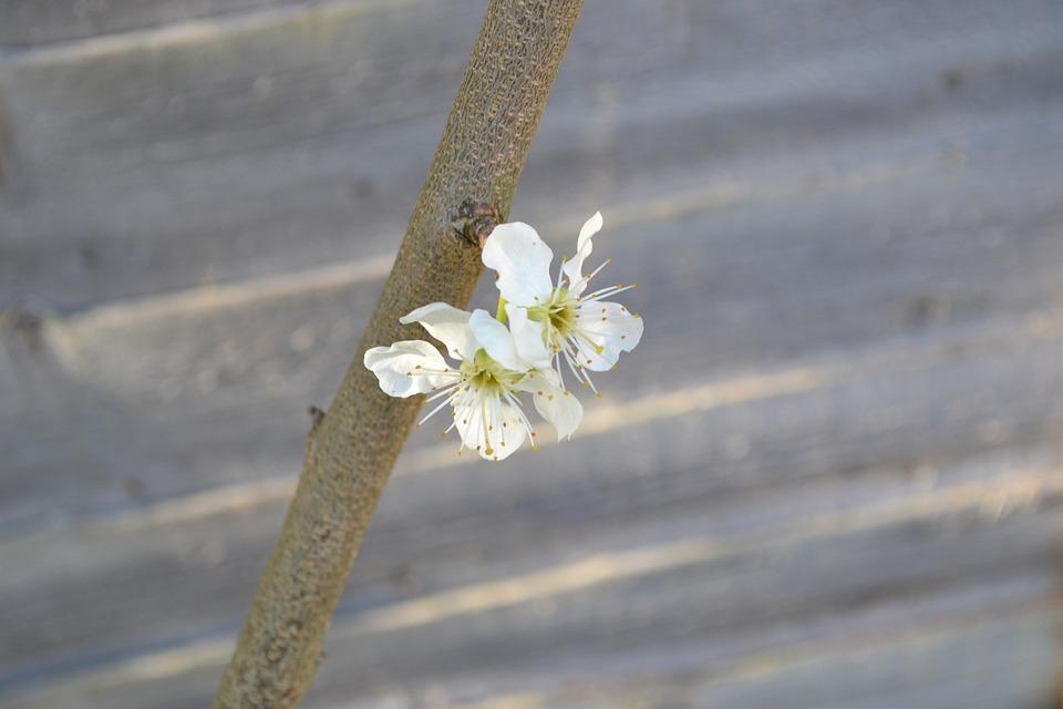 Blossom, Plum Blossom, Flower, White, Close-up, Branch