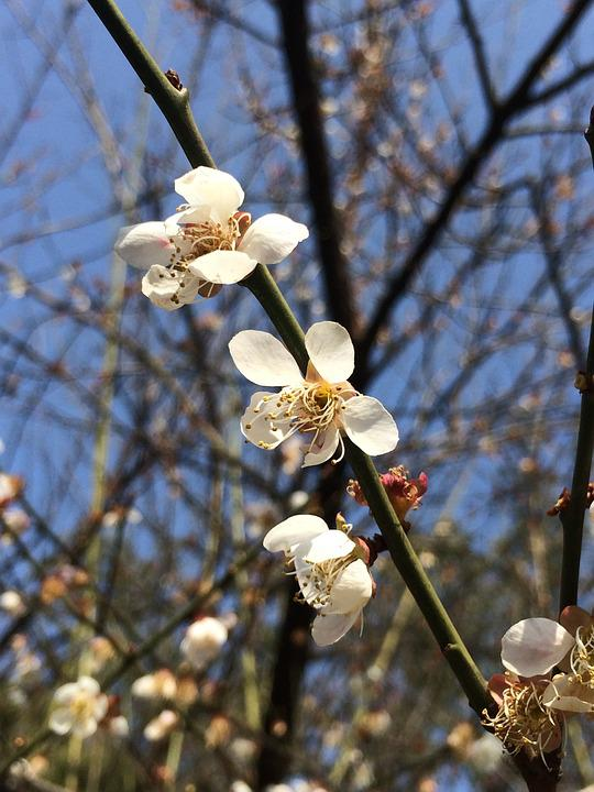 Spring, Plum Blossom, Blue Sky, Flower, White, Close-up