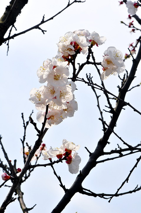 Plum Blossom, Branches, White, Red, In Full Bloom