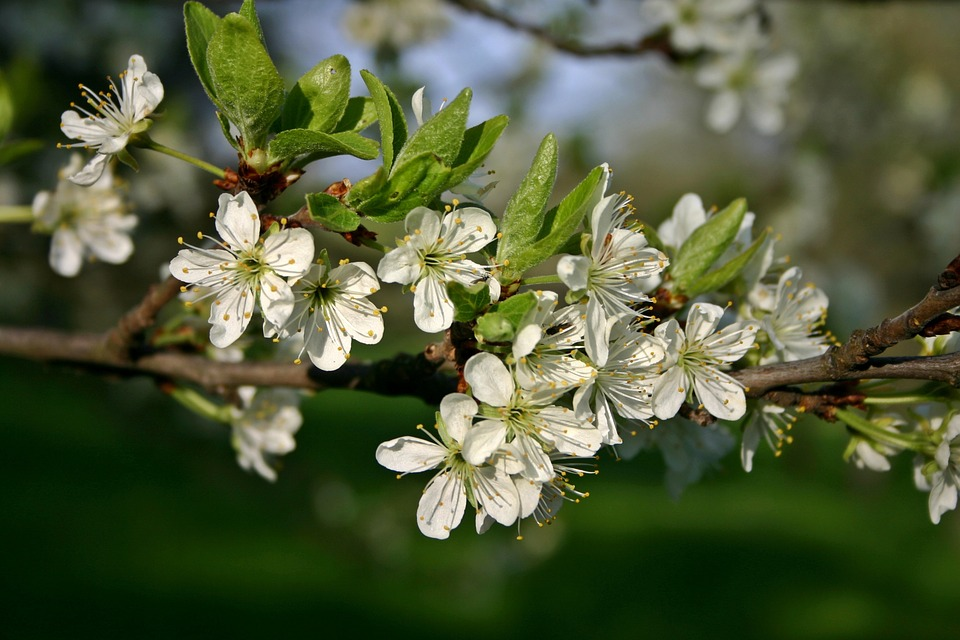 Plum, Blossom, Bloom, Plum Blossom, Tree, Blossom
