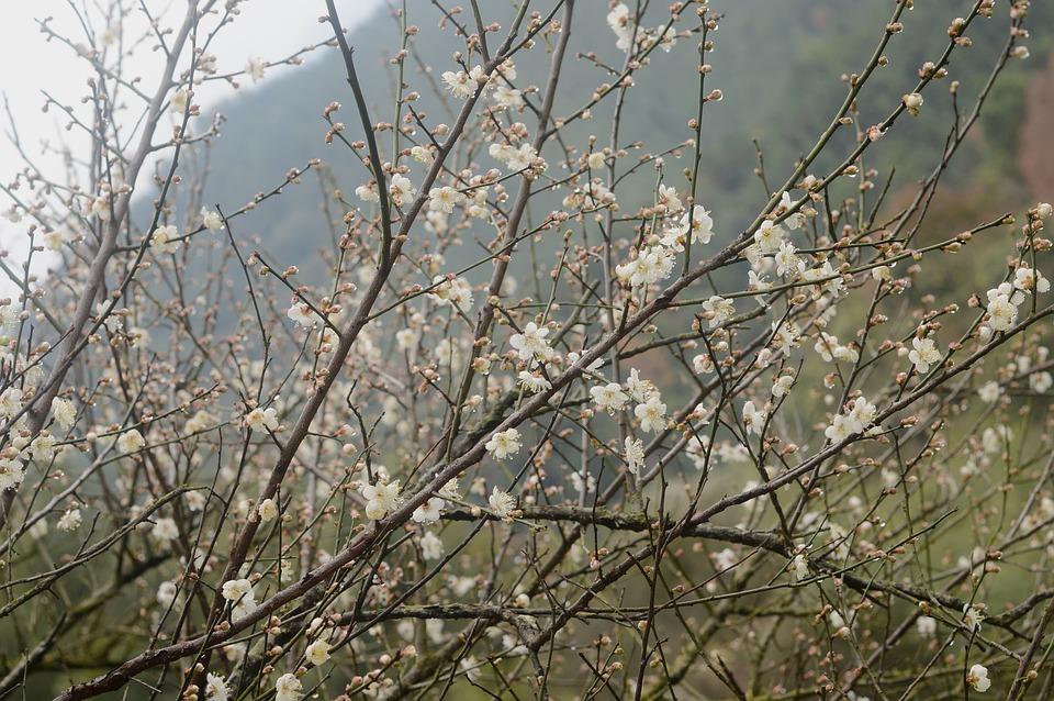 Plum Blossom, Plum Tree, Merlin