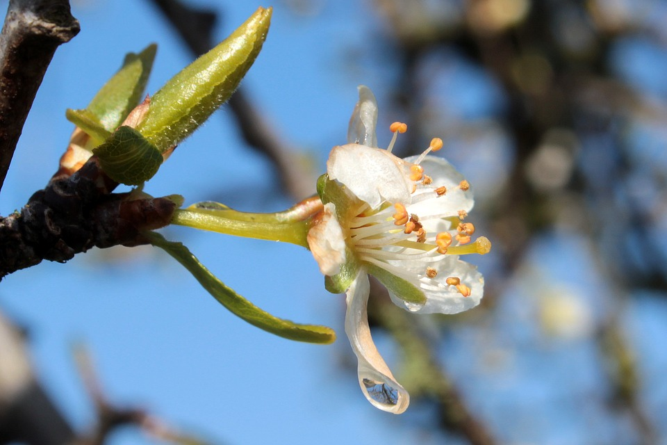 Plum Tree, Prunus Domestica, Plum Blossom