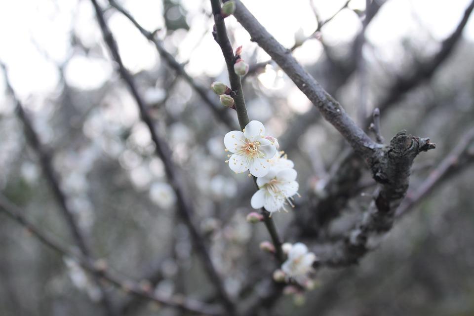 Plum Blossom, Beautiful, Romantic