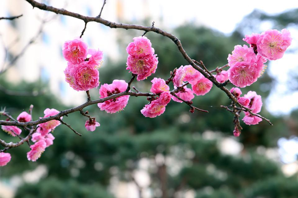 Red Plum, Spring, Flowers, Nature, Plum Blossoms