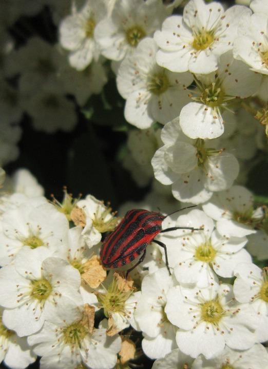 Striped Shield Bug, Shield Bug, Flowers, Plum Blossoms