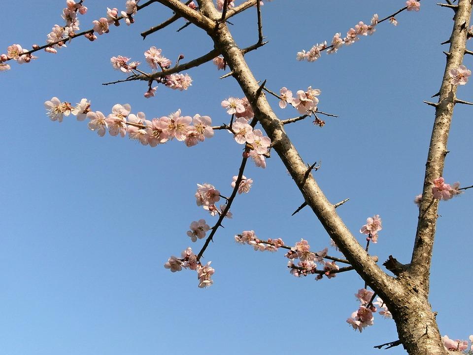 Plum, Plum Blossoms, Pink, Arboretum, Spring