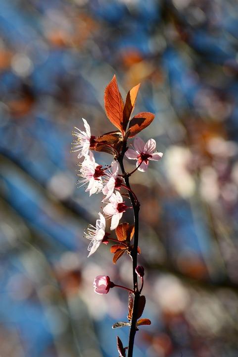 Prunus, Plum Cherry, Chinese Plum, Blossom, Pink