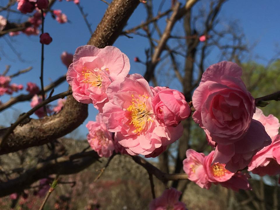 Plum Blossom, Plum Festival, Beijing