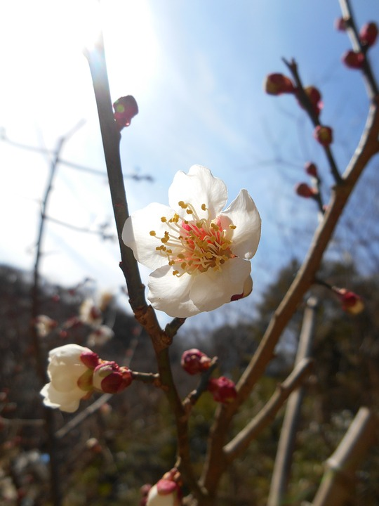 Free photo plum flowers of early spring white flowers flowers max plum flowers of early spring white flowers flowers mightylinksfo