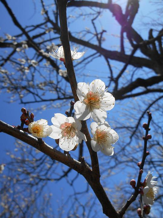 Plum, White Plum Blossoms, Flowers Of Early Spring