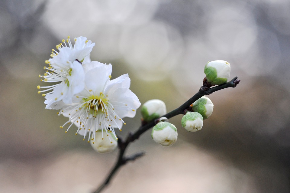 Free photo plum flowers of early spring white plum blossoms max pixel white plum blossoms flowers of early spring plum mightylinksfo