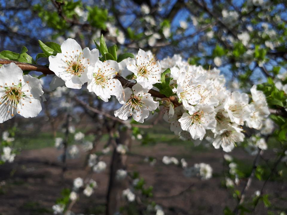 Flower, Plant, Tree, Branch, Nature, Outdoors, Plum