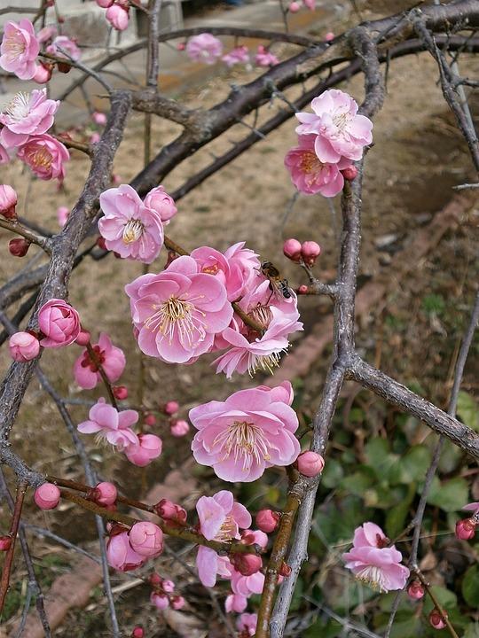 Plum, Red Plum, Plum Blossoms, Spring, Pink