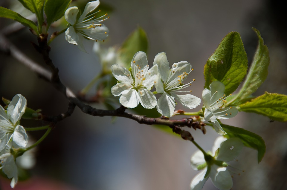 Blossom, Bloom, Spring, Plum, Nature, Close, Plant