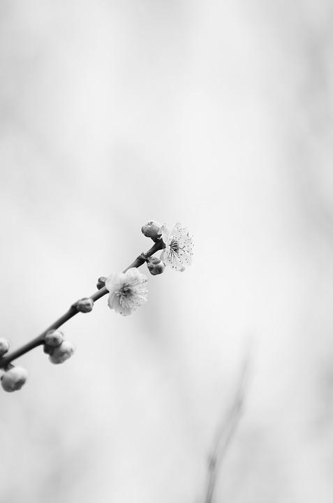 Plum, Spring, White Plum Blossoms, Plum Blossoms