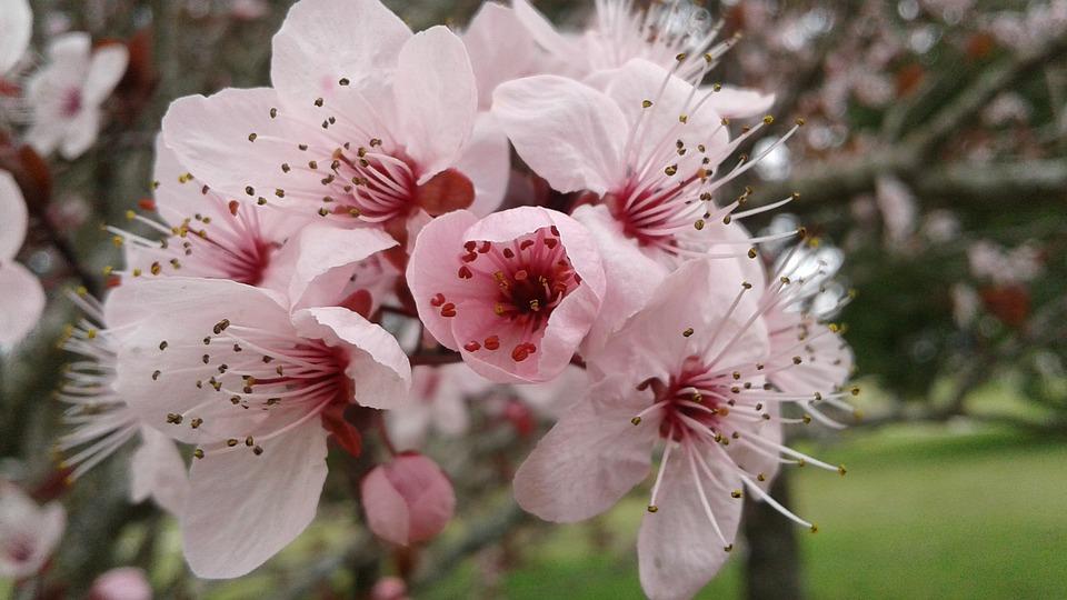 Plum, Plum Tree, Flower, Pink, White, Season, Leaf