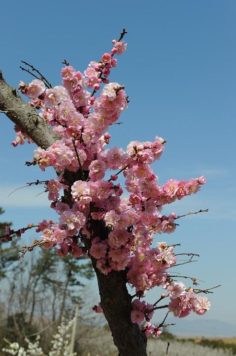 Plum, Red Plum, Plum Flower, Plum Apricot Blossom