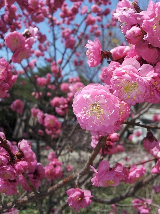 Plum, Flowers, Spring, Pink, Flower Tree, Red Plum