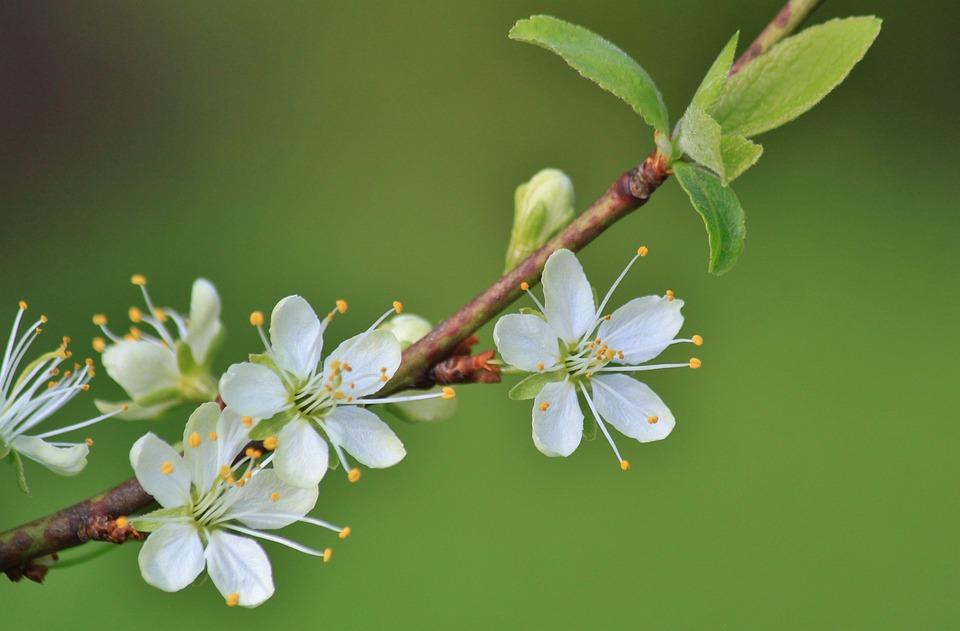 Flowering Twig, Branch, Flowers, Plum Tree