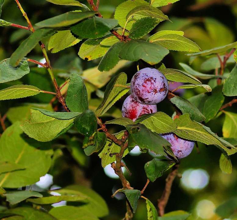 Plum Tree, Plums, Branches, Leaves, Fruit, Sweet