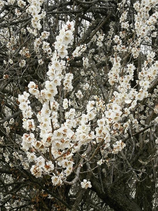 Plum, Plum Blossoms, White Flowers, Spring