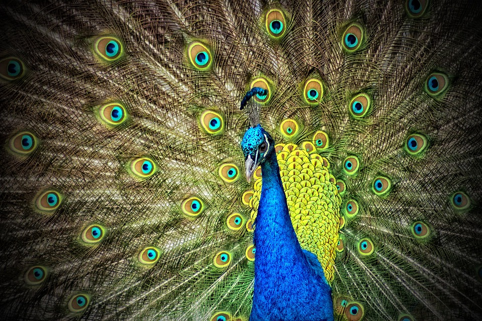 Peacock, Animal, Iridescent, Color, Colorful, Plumage
