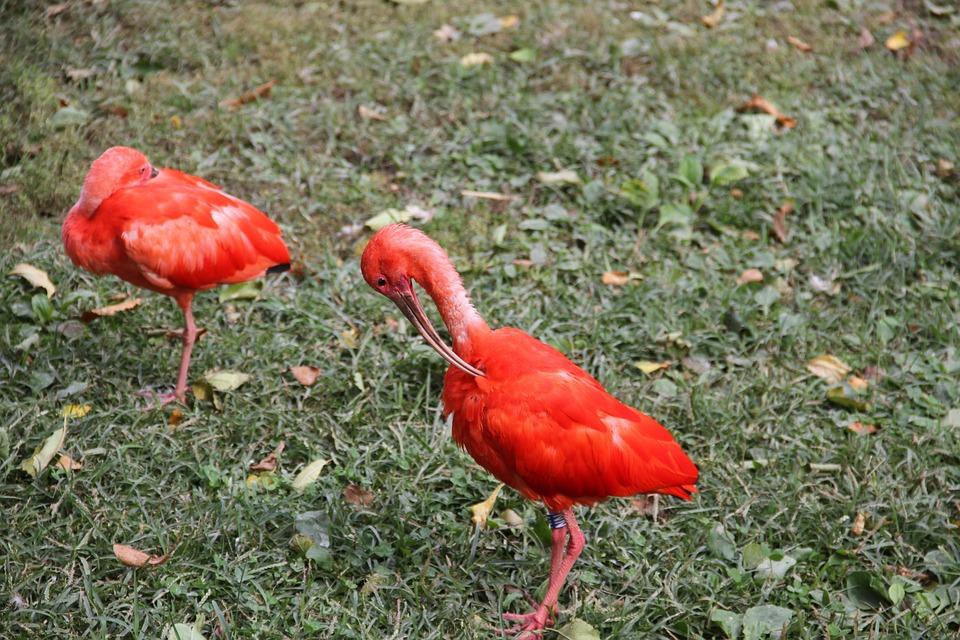 Scarlet Ibis, Birds, Animals, Exotic, Feathers, Plumage
