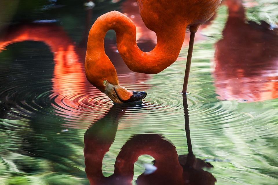 Animal, Flamingo, Avian, Bird, Feathers, Lake, Plumage