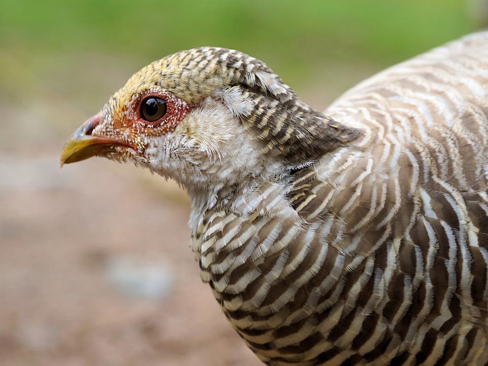 Goldfasan, Pheasant, Bill, Bird, Feather, Plumage