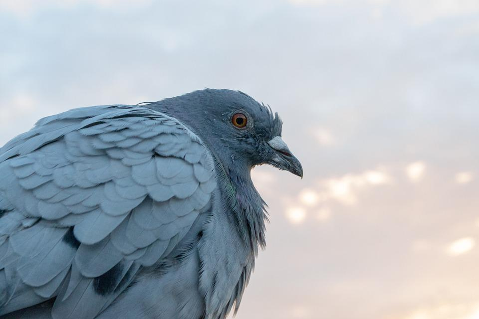 Dove, Bird, Plumage, Feathers Gray