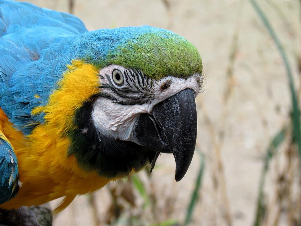 Parrot, Ara, Yellow Macaw, Bird, Plumage, Bird Castle