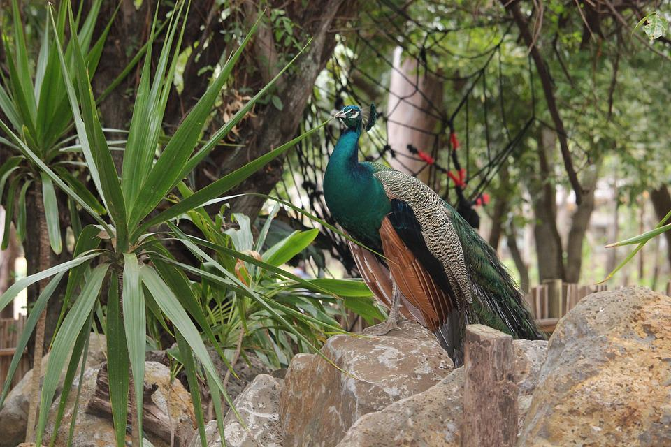Peacock, Animal, Bird, Wildlife, Nature, Zoo, Plumage