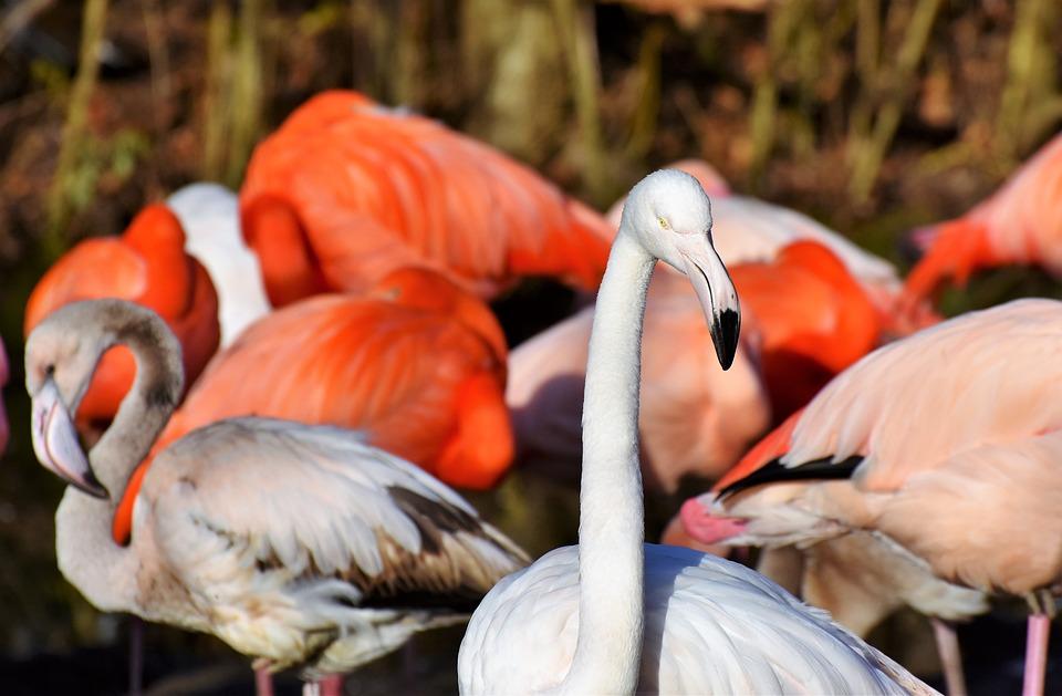 Flamingo, White Flamingo, Bird, Pink, Bill, Plumage