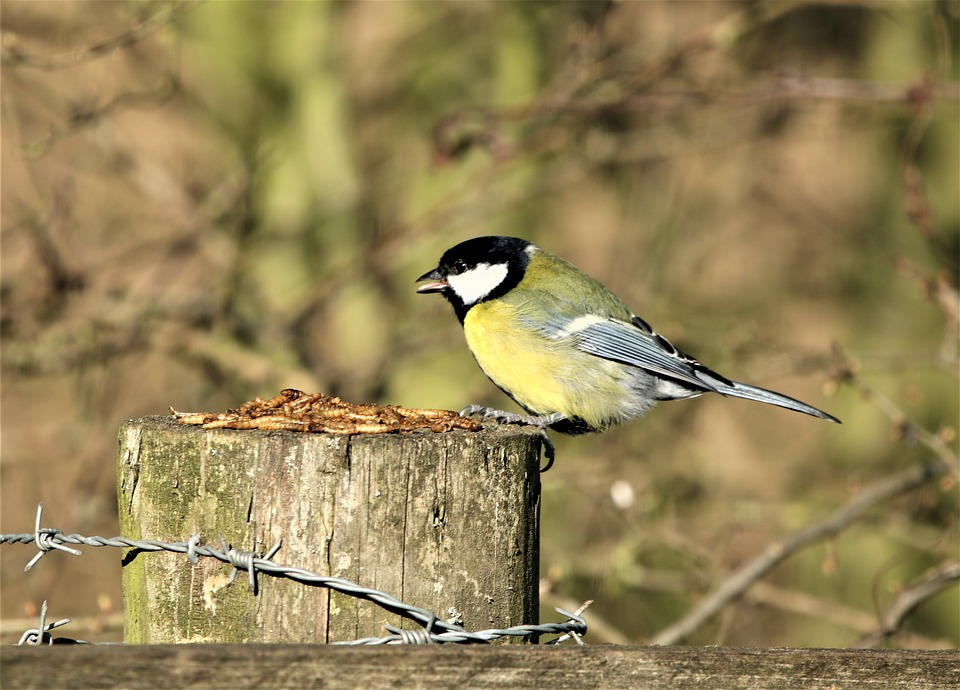 Bird, Great Tit, Yellow, Wildlife, Autumn, Plumage